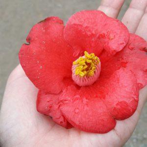 hoa tra nhat 2