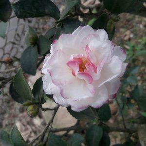 hoa tra nhat 8