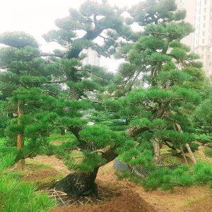 Vườn Nhật Hạ Long