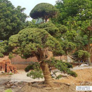 Cây Tùng La Hán