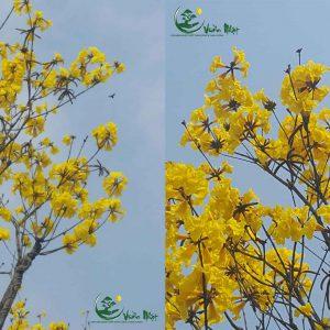 cay hoa phong linh 2