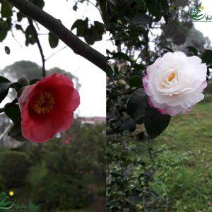 cay hoa tra nhat 1