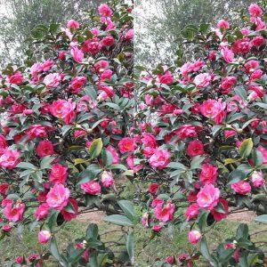 cay hoa tra nhat 3