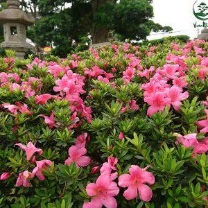 hoa do quyen 3