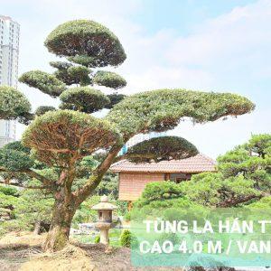 Tùng La Hán dáng bay (xiêu)